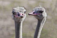 Bisbolhetice da avestruz imagens de stock royalty free