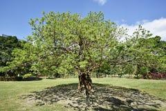 Bischofia javanica tree Stock Photos
