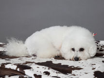 Bischon frise. Lying on spotted blanket Stock Images