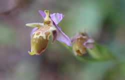 Bischoppenorchidee op Kreta Royalty-vrije Stock Afbeeldingen