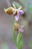 Bischoppenorchidee op Kreta Stock Afbeelding