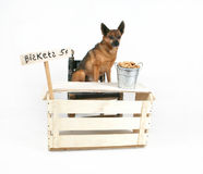 Biscuit dog. A dog selling biscuits at a stand Royalty Free Stock Photography