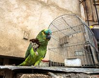 Biscuit eatting de perroquet d'Amazone de festival Photos stock
