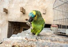 Biscuit eatting de perroquet d'Amazone de festival Images libres de droits
