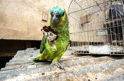 Biscuit eatting de perroquet d'Amazone de festival Image stock