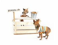 Biscuit stand. A chihuahua with a biscuit stand Stock Images