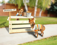Biscuit stand. A chihuahua with a biscuit stand Royalty Free Stock Photo