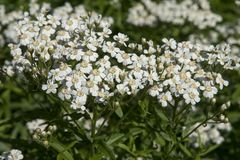 Biserrata d'Achillea Photo stock
