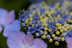 Bisexual flowers of Lacecap hydrangea. Bisexual flowersAndrogynous flowers of Lacecap hydrangea stock photo