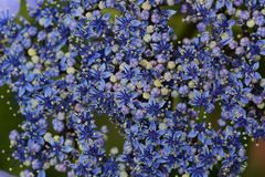 Bisexual flowers of Lacecap hydrangea. Bisexual flowersAndrogynous flowers of Lacecap hydrangea stock photography