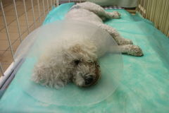 Bishon frise dog with Elizabethan collar. In anestesia Stock Image
