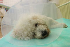 Bishon frise dog with Elizabethan collar. In anestesia Stock Images