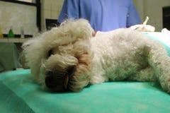 Bishon-frise Hund Lizenzfreie Stockfotografie