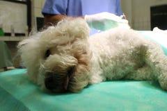 Bishon-frise Hund Lizenzfreies Stockfoto
