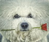 Bishon-frise Hund mit stieg in seinen Mund Lizenzfreie Stockfotografie