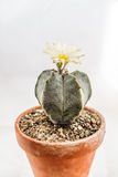Bishop's Cap. Astrophytum myriostigma Bishop's Cap Cactus in front of a white background Stock Photo