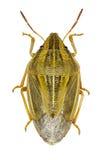 Bishop& x27; s-Gehrungsfuge Shieldbug auf weißem Hintergrund Lizenzfreie Stockfotos