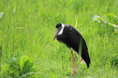 Bishop stork. The adult bishop stork standing in the grass Royalty Free Stock Images