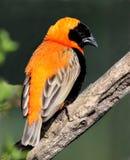 Bishop Weaver bird. Handsome orange and black Bishop Weaver bird stock photography