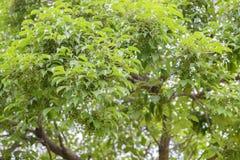 Bishop wood's fruits ( Bischofia javanica ) Stock Image
