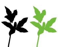 Bishops weed Stock Image