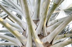 Bismarck Palm. Stock Photography