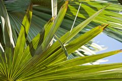 Bismarck Palm leaves Royalty Free Stock Image