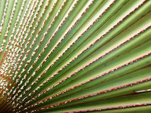 Bismarck palm leaves background Stock Images