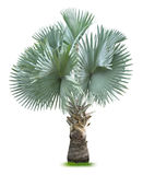 Bismarck Palm Tree Stock Images