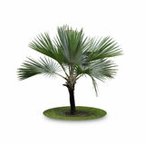 Bismarck Palm Tree isolated on white background Royalty Free Stock Images