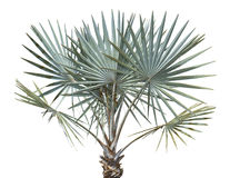 Bismarck Palm Tree. Young, Bismarck palm tree isolated on white. Also available in a transparent PNG file Stock Photography