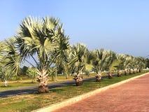 Bismarck palmträd uppställda i trädgården arkivfoto