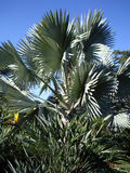 Bismarckia棕榈 澳洲 库存图片