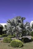 Bismarckia nobilis Royalty Free Stock Photography