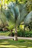 Bismarckia Nobilis palmträd i trädgården royaltyfria bilder