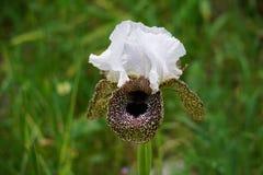 Bismarckiana del iris fotos de archivo