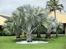 Bismark drzewka palmowe w wielkim tropikalnym ogródzie obrazy royalty free