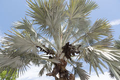 Bismark Palm and cluster of drupes Royalty Free Stock Photos