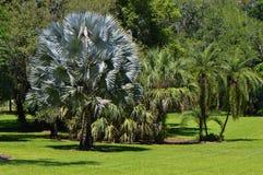 Bismark Palm Latin name bismarckia nobilis Royalty Free Stock Photography