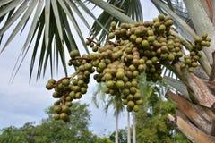 Bismark Palm. Stock Photography