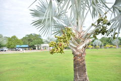 Bismark Palm. Royalty Free Stock Photo