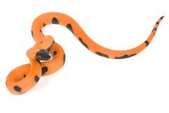 Bismark ringed python Stock Images