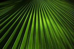 Bismarkia Fan Palm Royalty Free Stock Photos