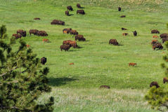 Biso herd. Large bison herd feeding on the green spring grass in South Dakota Stock Photo
