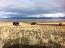Bison à l'île d'antilope Photographie stock