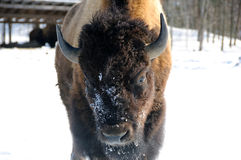 Bison. Close-up portrait of a bison Stock Images