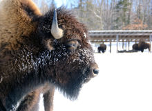 Bison. Close-up portrait of a bison Stock Photo