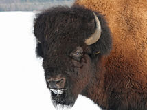 Bison. Impressive bison out at hibernal feed Royalty Free Stock Photos