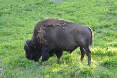 Bison. In Yellowstone National Park Royalty Free Stock Image