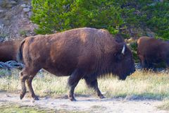 Free Bison Royalty Free Stock Photography - 114491077